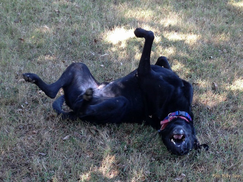 Black Dog Syndrome - Silly Big Black Dog