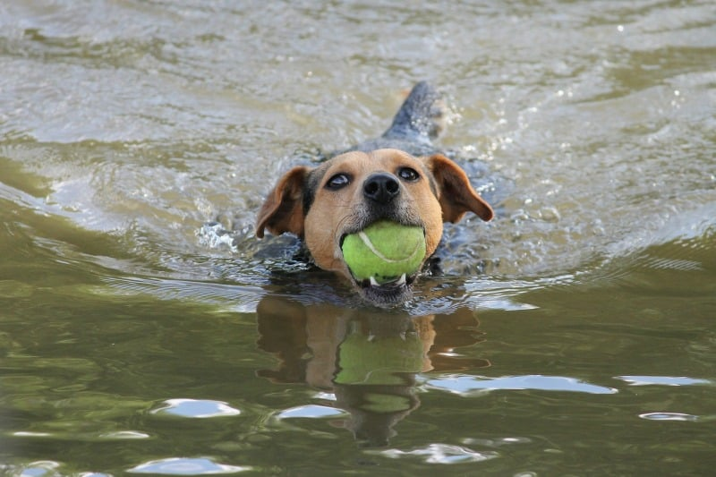 Dog swimming in lake with ball in his mouth