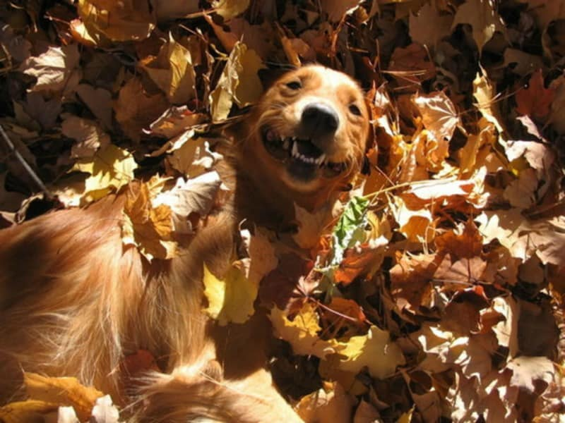 dog smiling in pile of leaves