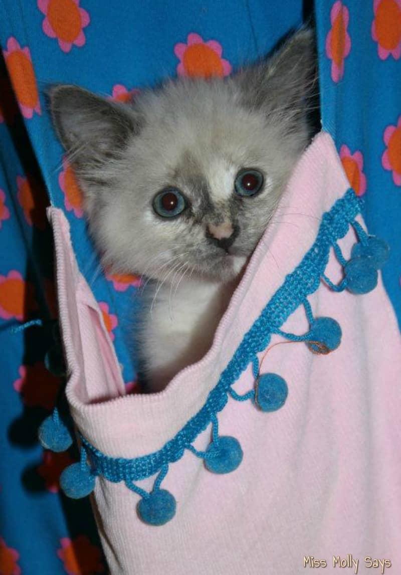 beautiful little kitten in a dress pocket