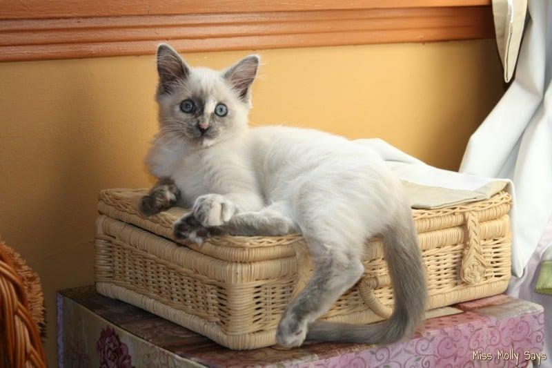 kitten on a wicker suitcase