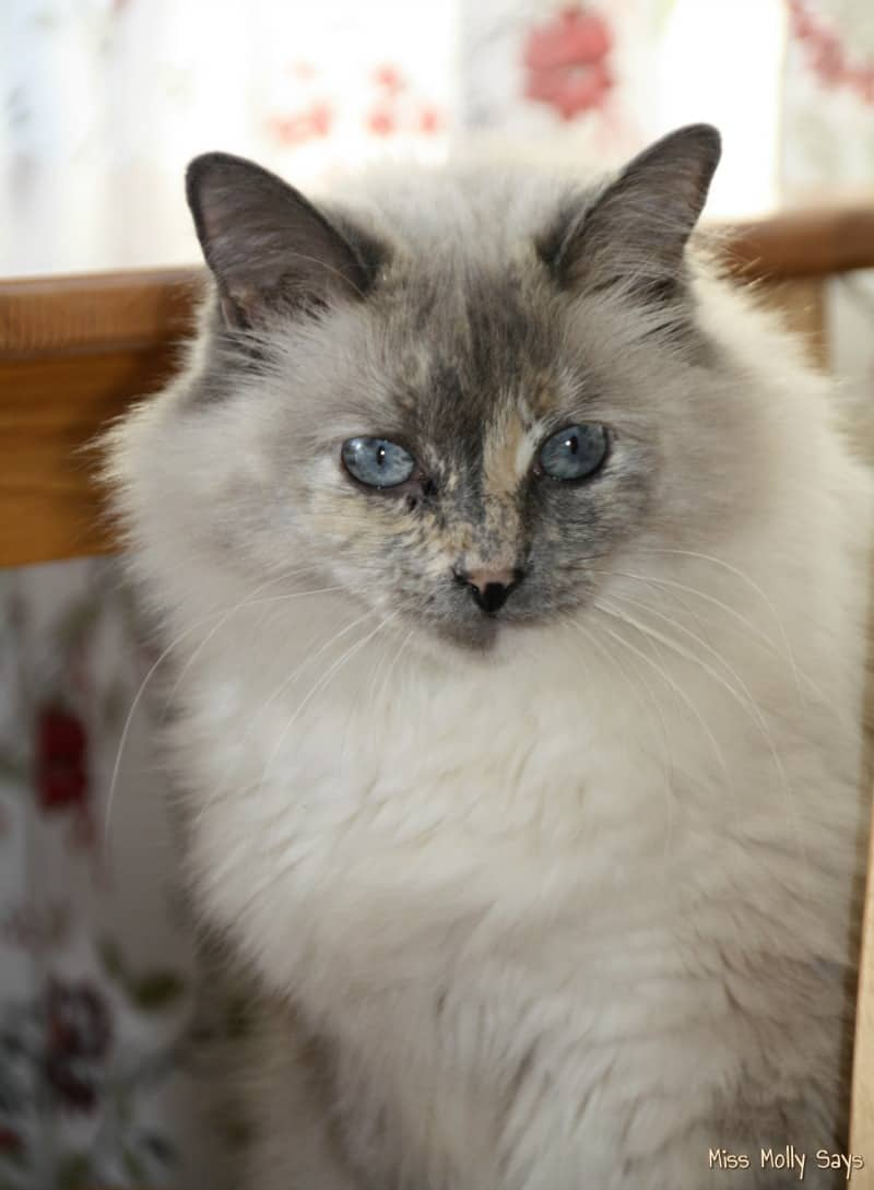 gorgeous cat - daisy