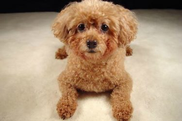 4 Signs You Should Take Your Poodle to the Veterinarian