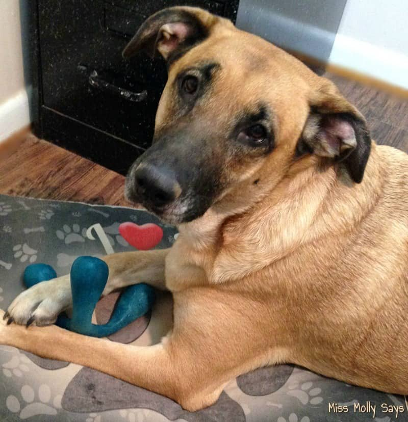 German Shepherd Lab mix playing with Zogoflex Air Wox Dog Toy from West Paw