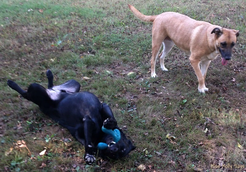German Shepherd Lab mixes playing with Zogoflex Air Wox Dog Toy from West Paw