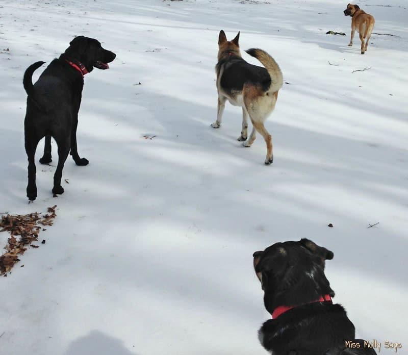 German Shepherds, German Shepherd-Lab mixes Hiking in the Snow