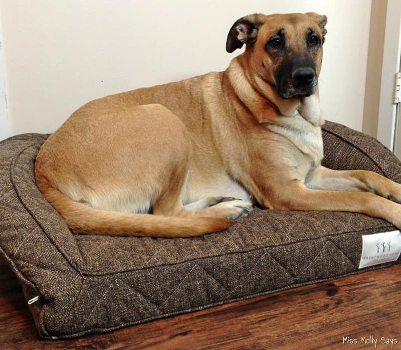 German Shepherd Lab Mix laying on Brentwood Home Runyon Pet Bed