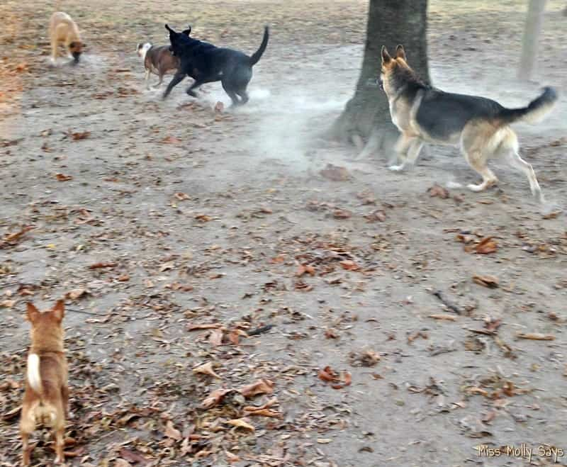 German Shepherd, German Shepherd Lab Mix dogs playing chase