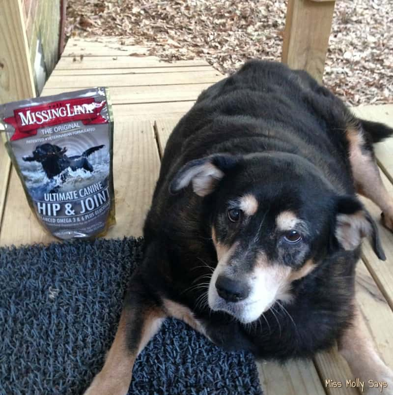 The Missing Link Hip and Joint Supplement with Senior Rottie Mix dog