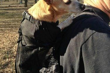 Chihuahua in K9 Sport Sack