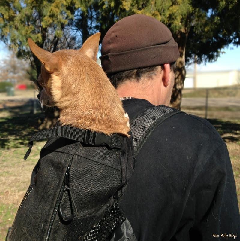 Chihuahua in a K9 Sport Sack