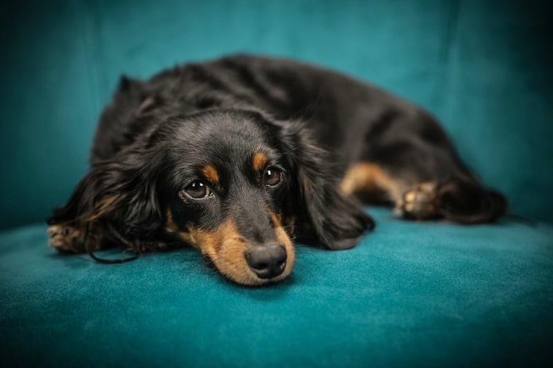 Do Dogs Have Stomach Aches & How Can You Know?