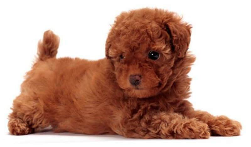 How Do Responsible Owners Support Toy Poodles' Joint Health?