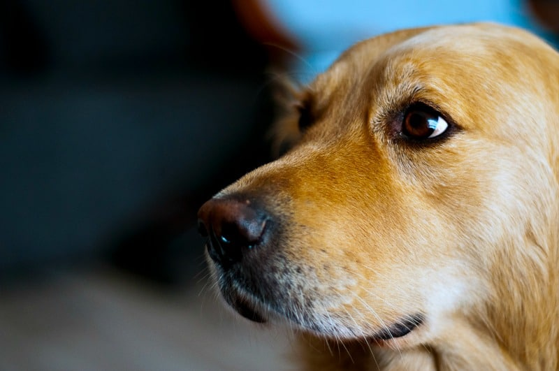 The 4 Best Breeds For Emotional Support Dogs