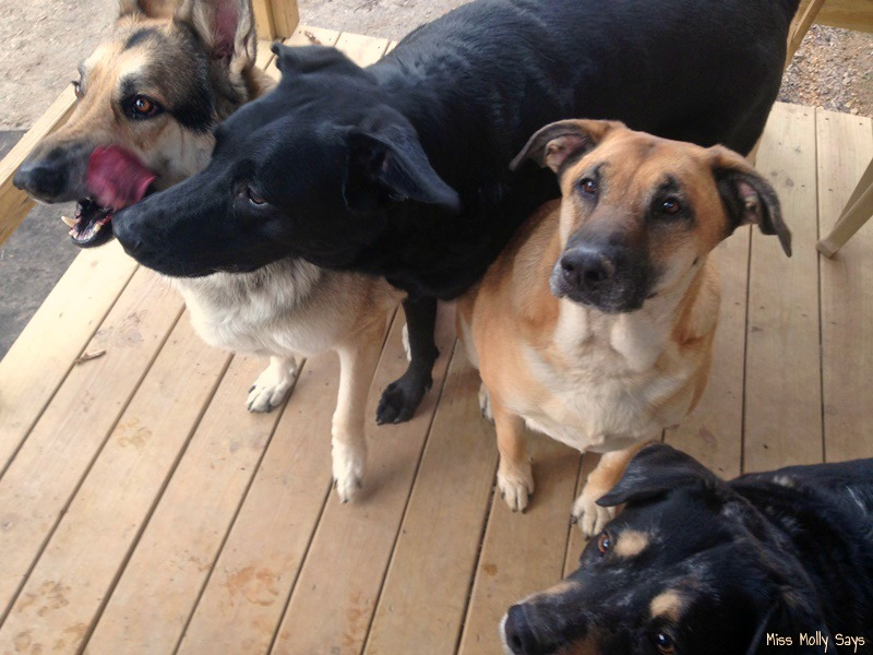 German Shepherd, German Shepherd Lab Mixes, and Australian Shepherd waiting on treat