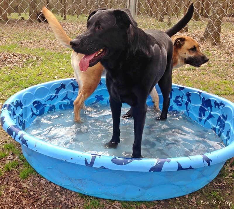 German Shepherd Lab Mixes in Swimming Pool