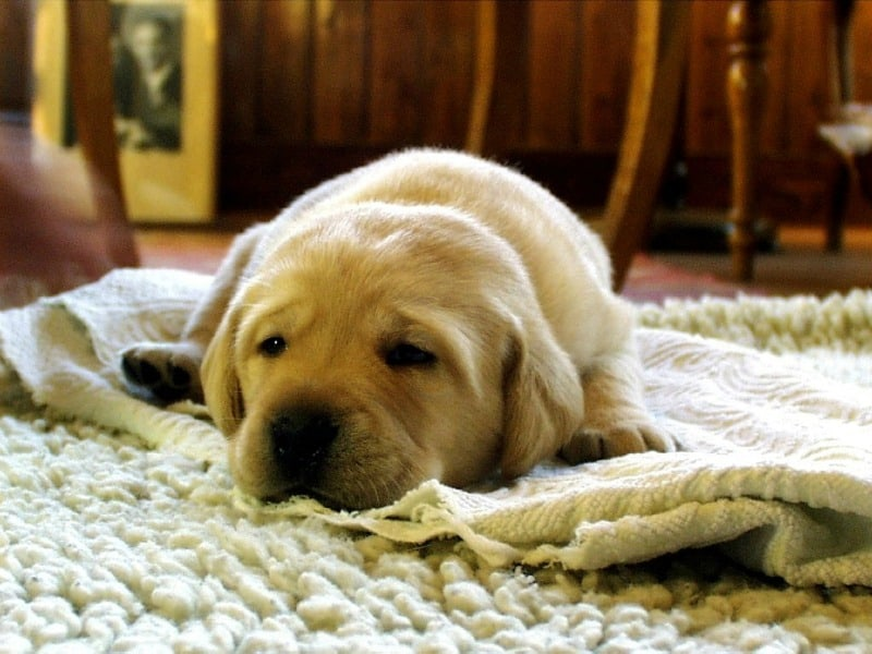 How to Get Rid of Pet Smells at Home