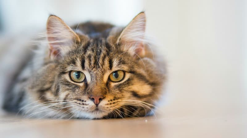 Kitty Purr-oblems: Top Signs That Your Cat Might Have Diabetes