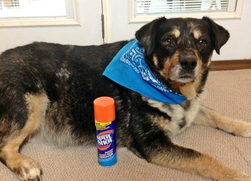 Spot Shot Instant Carpet Stain Remover and Australian Shepherd-Lab Mix