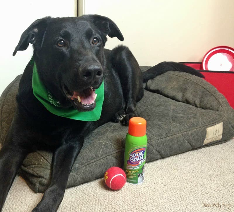 Spot Shot Pet Instant Carpet Stain & Odor Eliminator is a Safe, Non-toxic, and Eco-Friendly Solution to Pet Stains #SpotShot