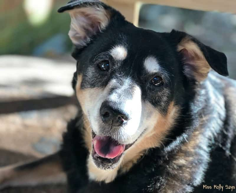5 Benefits of Adopting a Senior Dog