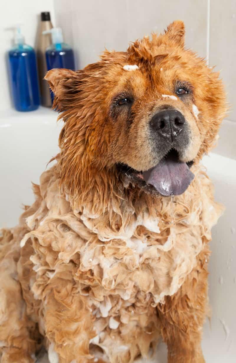 Pet Shedding - Chow in Bath Tub