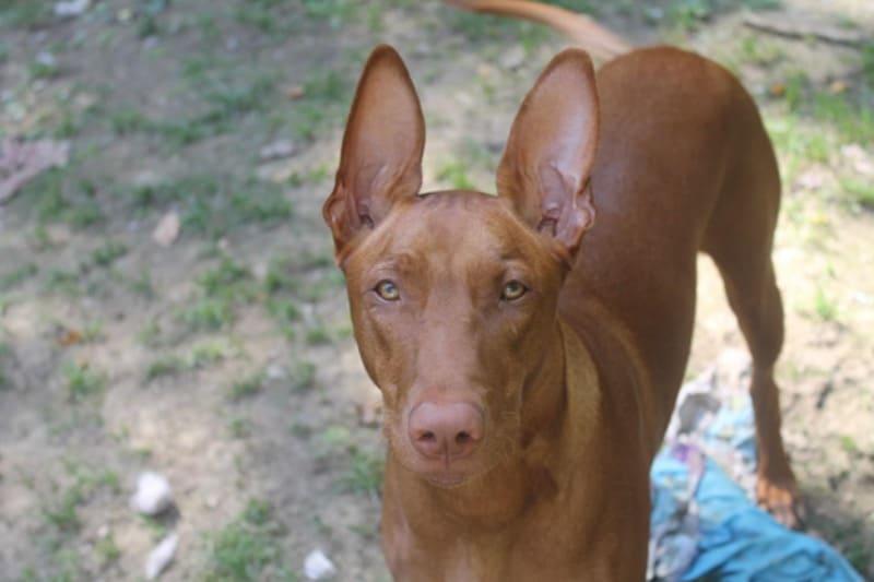 Pharaoh Hound, Freya