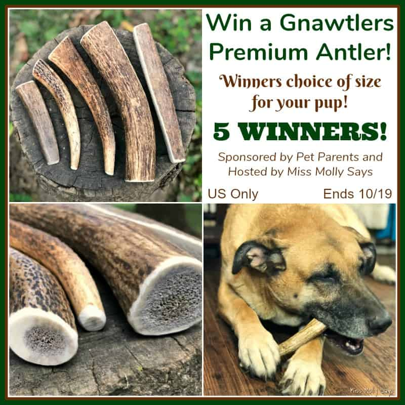 #Win a Gnawtlers Premium Antler in size of choice! 5 WINNERS! US Only Ends 10/19