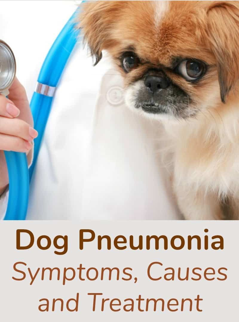 Dog Pneumonia Symptoms Causes and Treatment