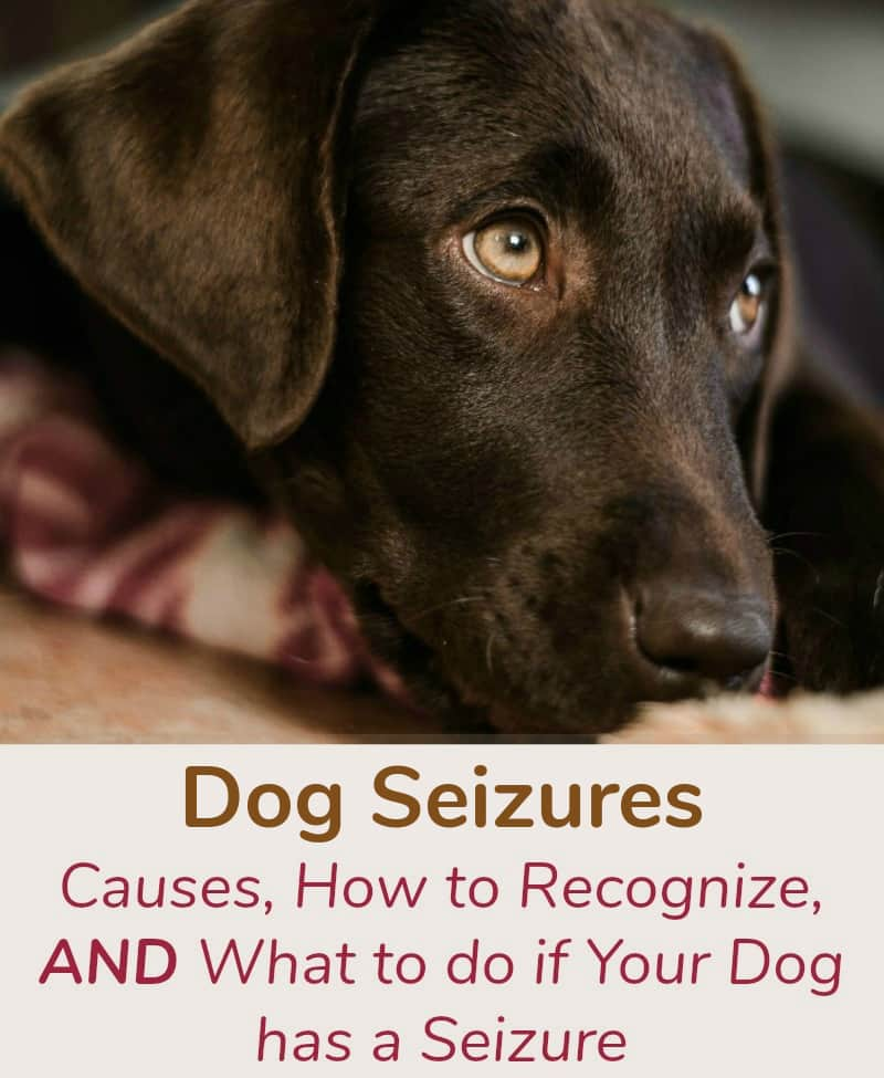 Dog Seizures: Causes, How to Recognize, and What to do if Your Dog has a Seizure