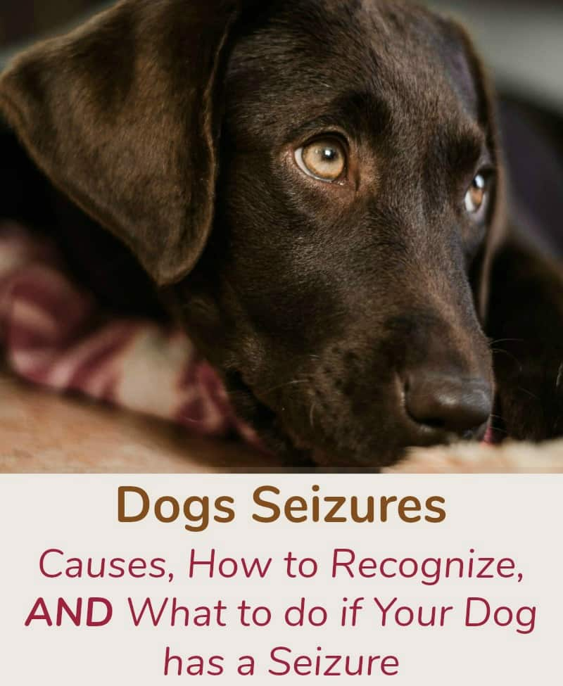 Dogs Seizures, Causes, How to Recognize, and What to do if Your Dog has a Seizure