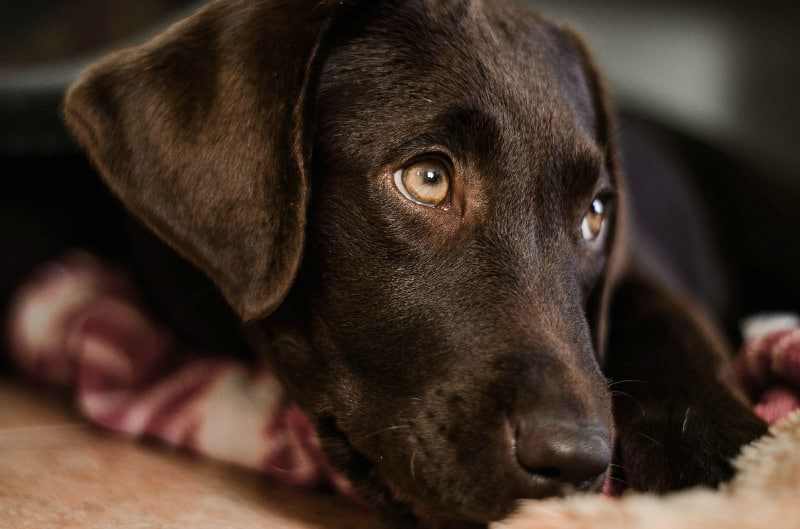 Dogs Seizures: Causes, How to Recognize, and What to do if Your Dog has a Seizure