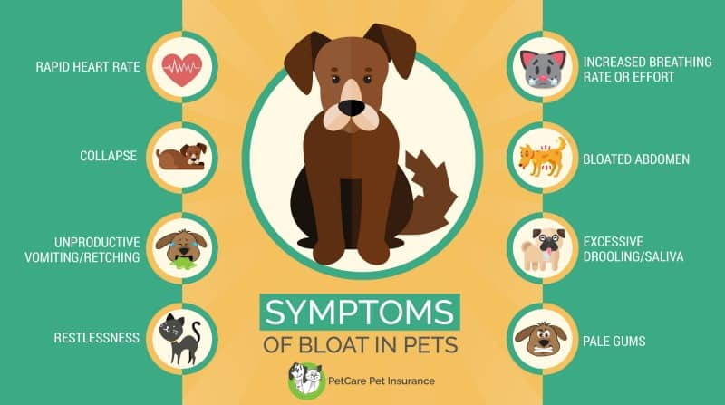 Symptoms of Bloat in Dogs infographic