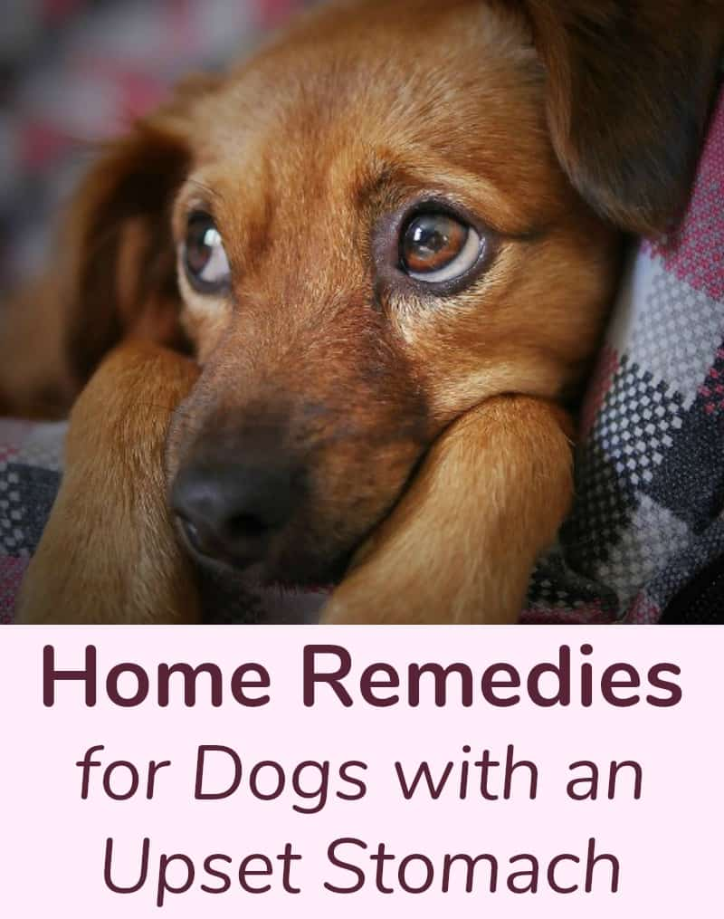 Home Remedies for Dogs with an Upset Stomach