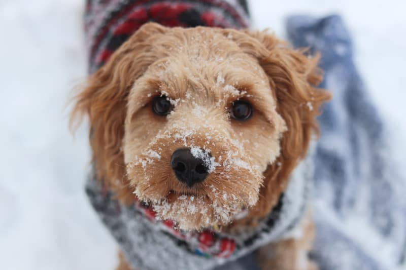 Small brown dog with snow on his face