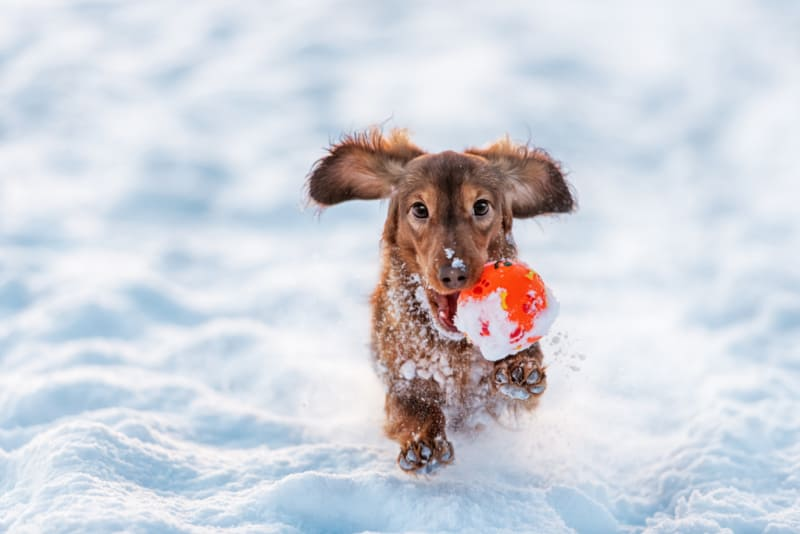 Small dog playing with toy in snow