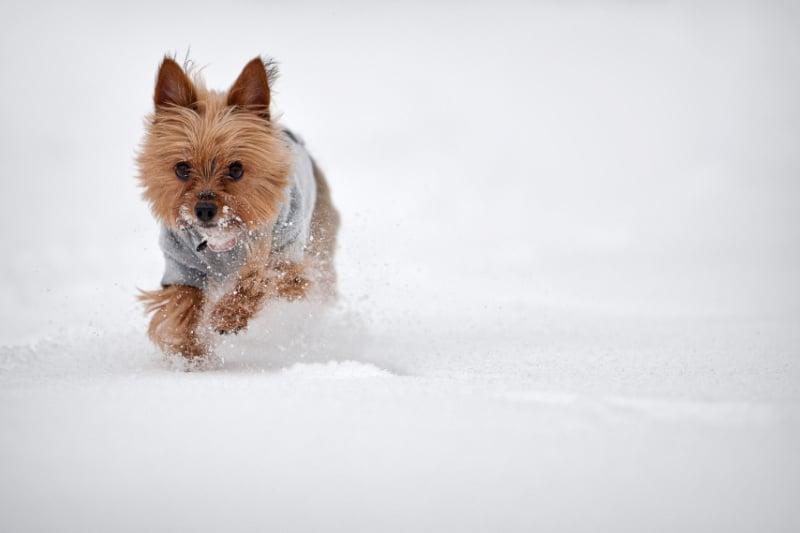 Small dog running in snow