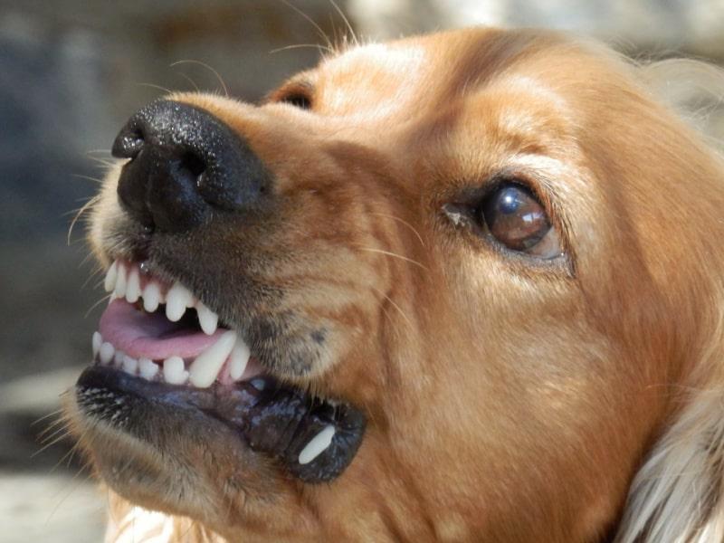 Brown dog showing his teeth