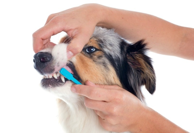 Person brushing a dog's teeth