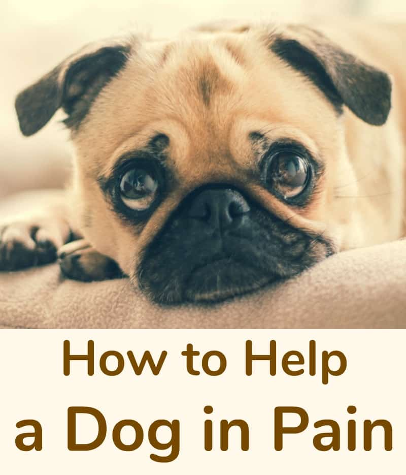 How to Help a Dog in Pain