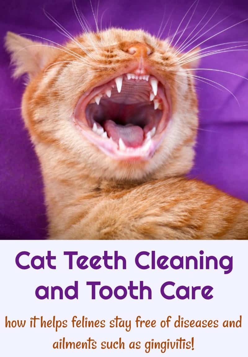 Cat Teeth Cleaning and Tooth Care - how it helps felines stay free of diseases and ailments such as gingivitis!