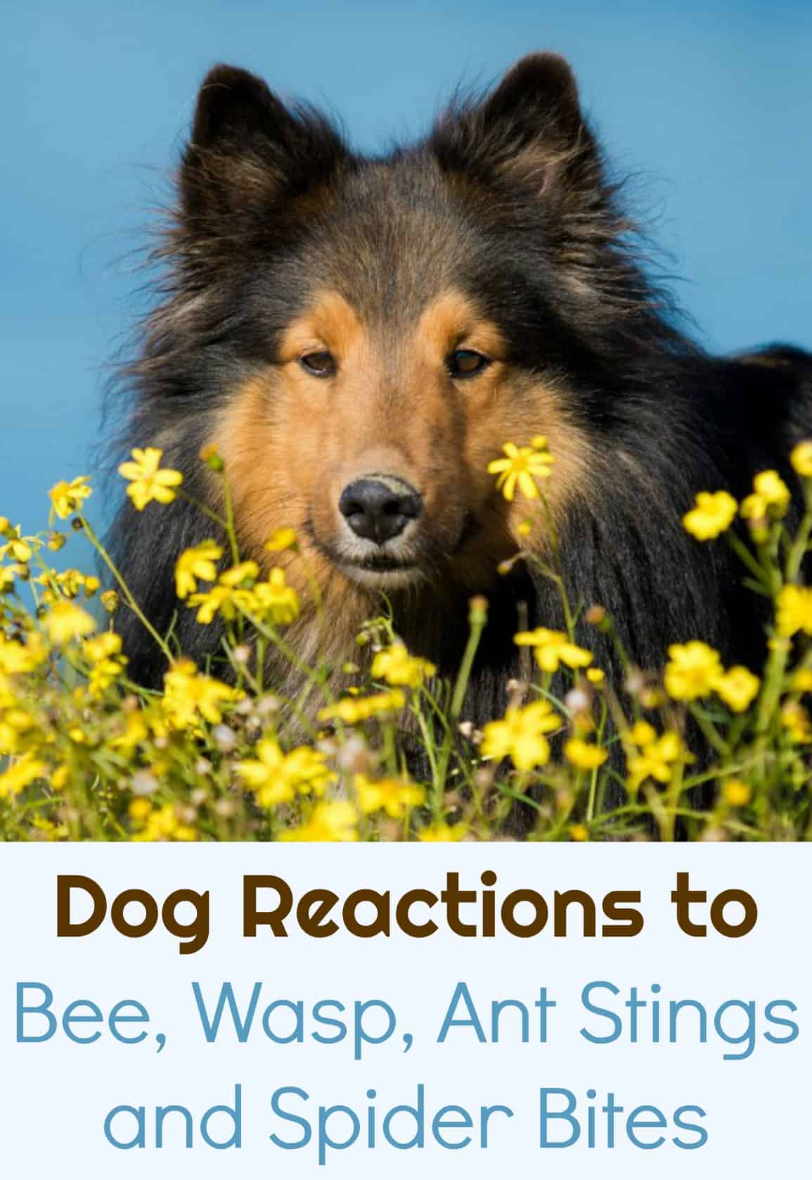 Dog Reactions to Bee, Wasp, Ant Stings and Spider Bites #pethealth