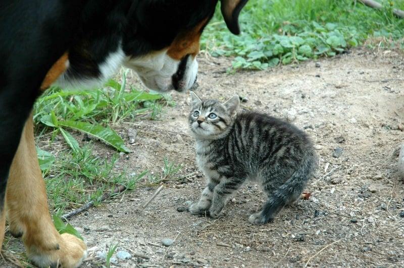 Dog meeting a kitten