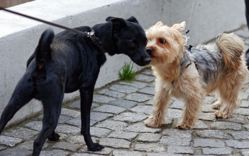 Dogs meeting each other onleash