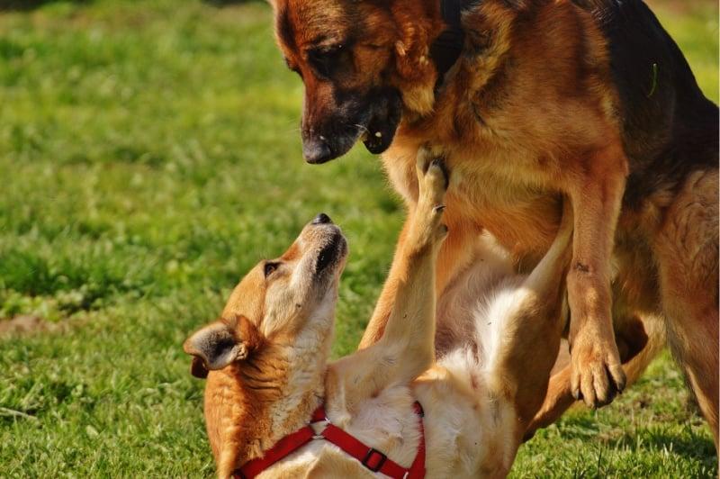 German shepherd agression toward another dog