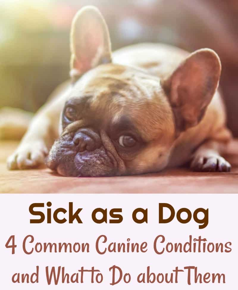 Sick as a Dog 4 Common Canine Conditions and What to Do About Them