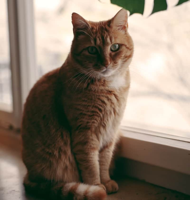 Why Cats Have Trouble Losing Weight