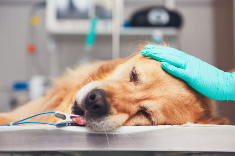 Dog being treated at vet