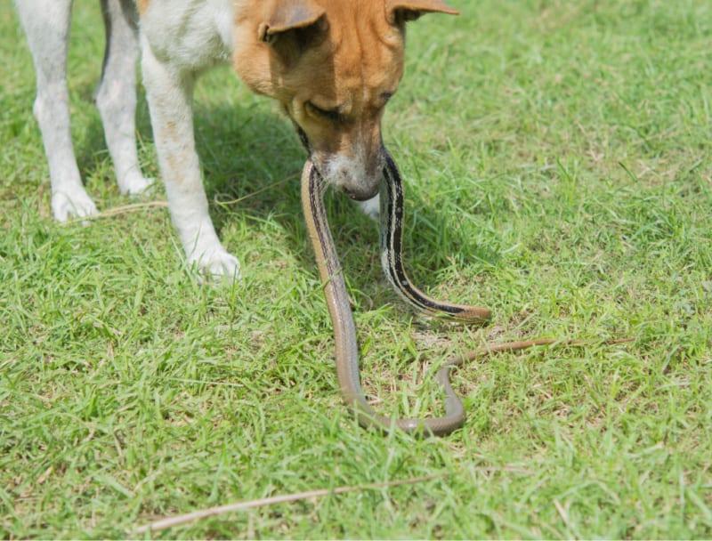 Dog picking up a snake