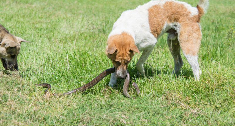 Dog fighting with a snake